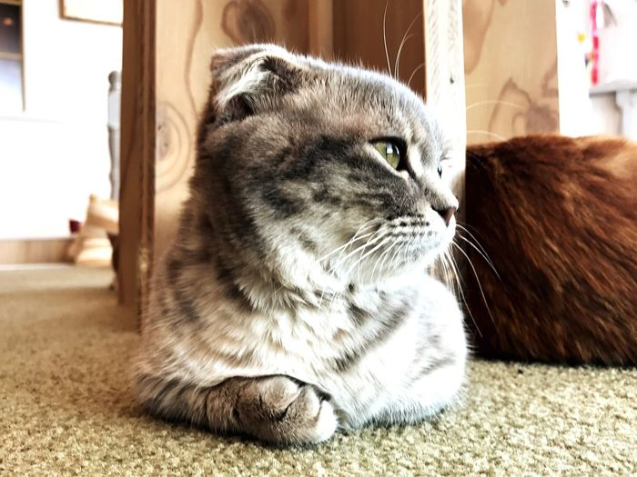 EyeEm Selects EyeEm Selects Cat Scottishfold Cats Of EyeEm Cat♡ Animal Photography Cat Lovers