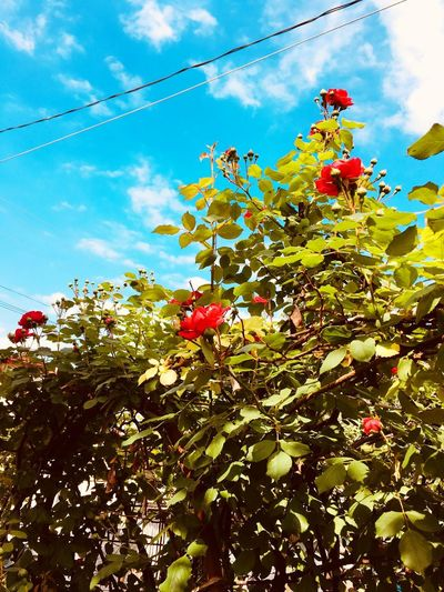 Roses Sky Plant Cloud - Sky Growth Nature Low Angle View Flower Tree Beauty In Nature Day No People Flowering Plant Sunlight Freshness Fragility Outdoors Vulnerability  Branch Blossom Springtime