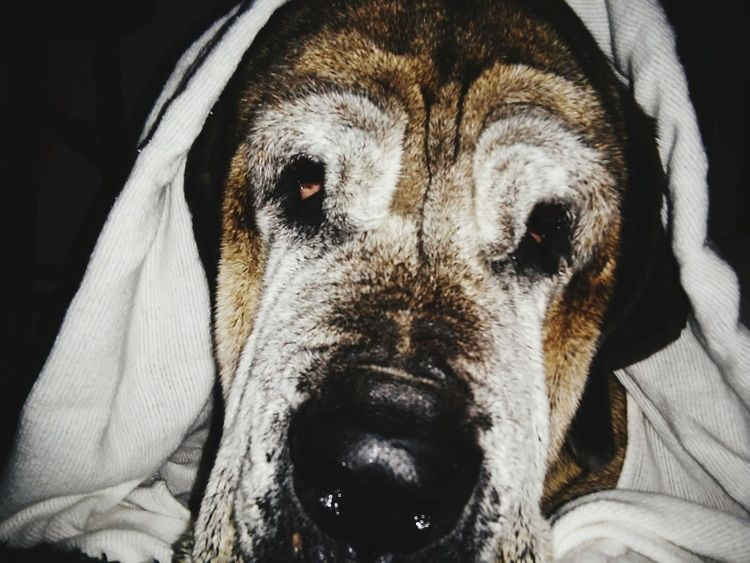 English Mastiff 15 Years Old Time To Reflect Lover Not A Fighter SadnessAndSorrow I'm Losing It! Running Out Of Time I Dont Want to Say Goodbye