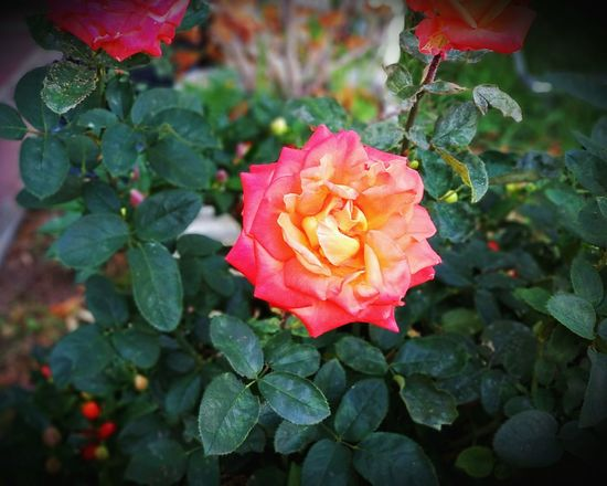 Queen Plant Flower Pink Color Leaf Petal Nature Growth Flower Head Rose - Flower Beauty In Nature No People Day Outdoors Close-up Fragility Botanical Garden Freshness Rose🌹 Yellow Love Beauty Petals Of Flowers Plant Photography Naturephotography Garden Photography