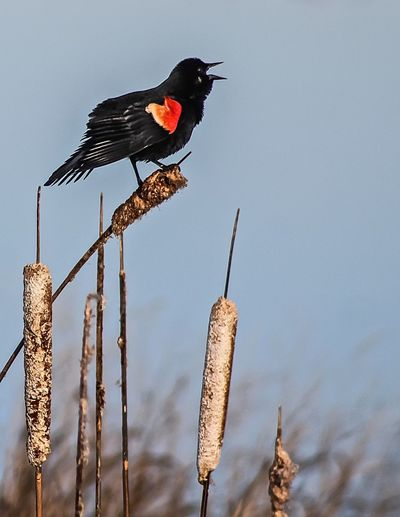 Low angle view of red-winged blackbird perching on dry cattail against clear sky