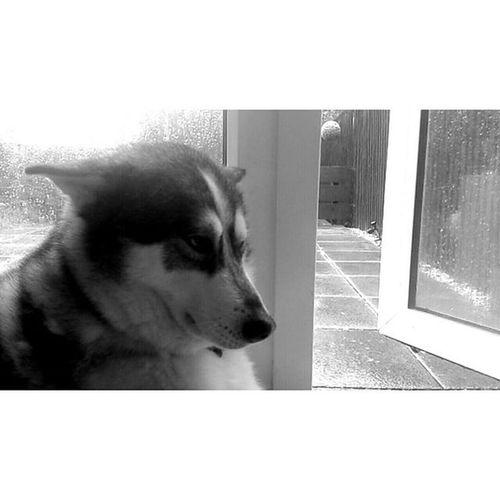 Even kodah was fed of with the rain.. but today the sun is finally out:) Hellosunshine Husky Inuit Dog Dogsofinstagram Sunshine Summer Rain