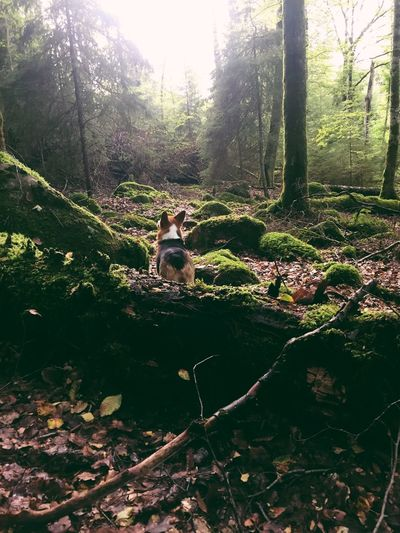 Dog in a forest One Animal Forest Animal Themes Tree Nature Dog Day Tree Trunk WoodLand Beauty In Nature Pembroke Corgi Nature Pet