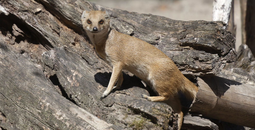 Yellow Mongoose on driftwood - Cynictis penicillata Animals In The Wild Cynictis Penicillata Looking At Camera Standing Tree Trunk Africa Alertness Animal Themes Animal Wildlife Animals In The Wild Camouflage Carnivora Close-up Driftwood Feline Hollow Mammal Mongoose Nature No People One Animal Outdoors Side View Wildlife Yellow Mongoose