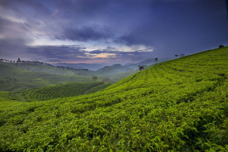 Beautiful scenery of tea plantation in the morning Agriculture Beauty In Nature Cloud - Sky Farm Field Green Color Hill INDONESIA Landscape Lembang, West Java Nature No People Rural Scene Sky Tea Crop Trip