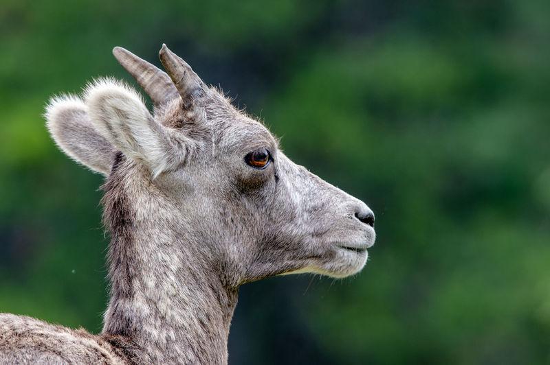 Close-Up Of Bighorn Sheep