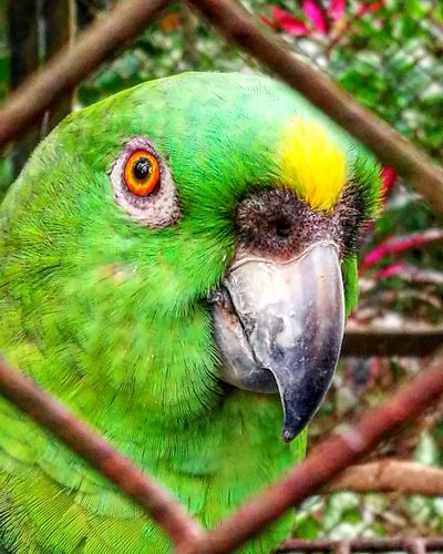 Loro en Costa Rica