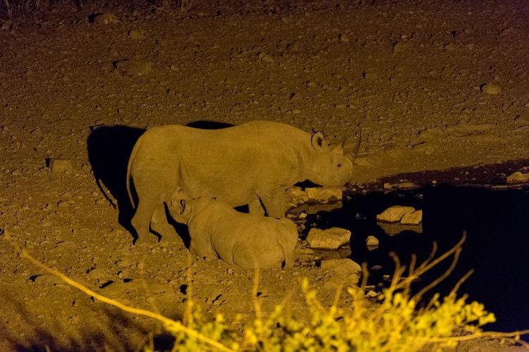 Rhinos drinking