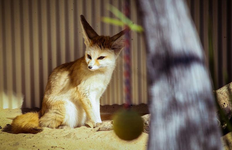 Animal Themes Cute Day Feline Fox Foxy Full Length Fur Mammal No People One Animal Outdoors Zoo