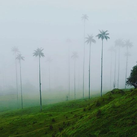 Cloud forest - Cocora Valley, Colombia. Cocora Valley Valle De Cocora Coffee Region Colombia South America Moutain Hiking Trekking Landscape Landscape Photography Travel Travel Destinations Traveling Travelling Photography