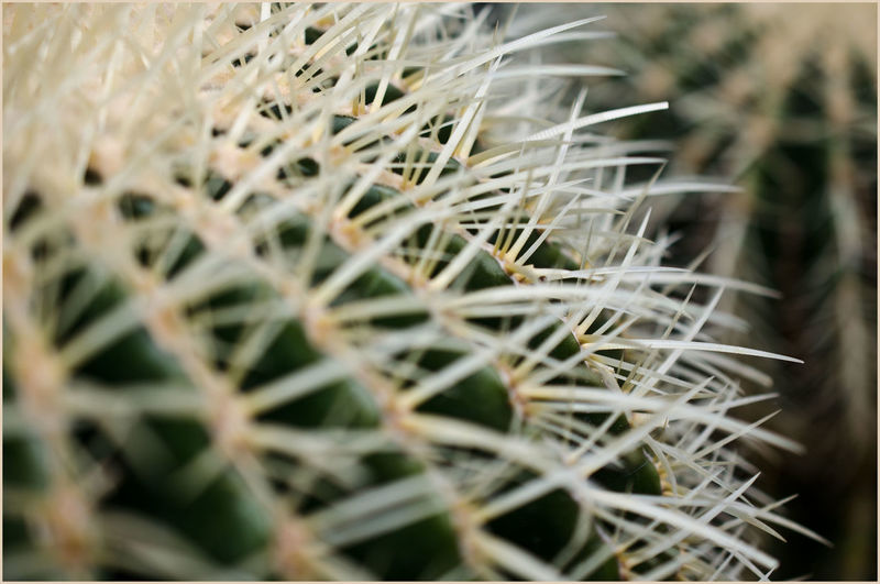 "Kaktus "" Naturelovers Perspectives on Nature Wonderful Nature Eye4photography  EyeEm Gallery Exceptional Photographs EyeEm Selects EyeEmBestPics EyeEm Best Shots EyeEmNewHere Barrel Cactus Prickly Pear Cactus Sharp Razor Wire Saguaro Cactus Needle - Plant Part Wildflower Succulent Plant"