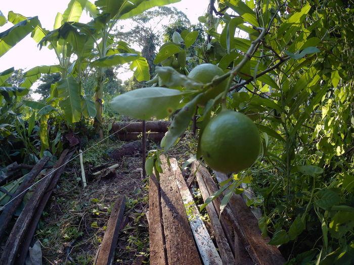 Tree Branch Fruit Agriculture Rural Scene Leaf Sky Food And Drink Green Color