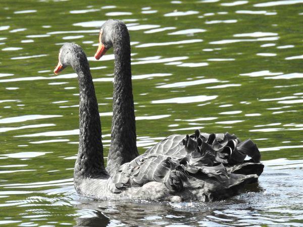 Birds🐦⛅ Black Swans Swimming Lake Sunny Day 🌞 Beauty The Great Outdoors - 2017 EyeEm Awards Neighborhood Map Greenyatmosphere Springtime Walking Park Colors Of Sankt-Peterburg Sankt-Petersburg Russia