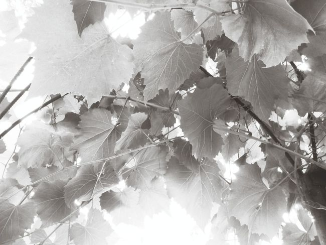 Mono Photo Monochrome Grape Leaf