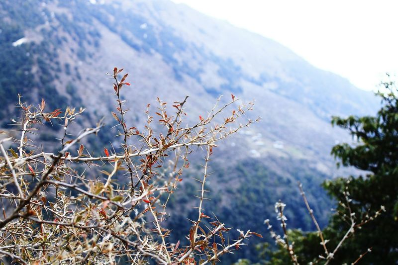 Mountain Nature Mountain Range Outdoors Beauty In Nature Plant Growth Scenics Thorn Thorns Mcleodgang Mcleodganj Mcleodganjdiaries Thorns And Beauty Thorns🌹 Thorny Plant Thorny Bush