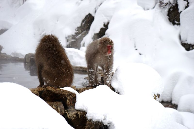 Full Length Of Two Monkeys On Snow Covered Landscape