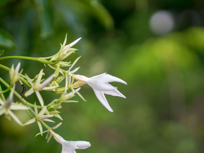 Thai flowers Plant Growth Beauty In Nature Flower Vulnerability  Flowering Plant Fragility White Color Petal Freshness Close-up Focus On Foreground Flower Head Inflorescence Nature Green Color Day No People Selective Focus
