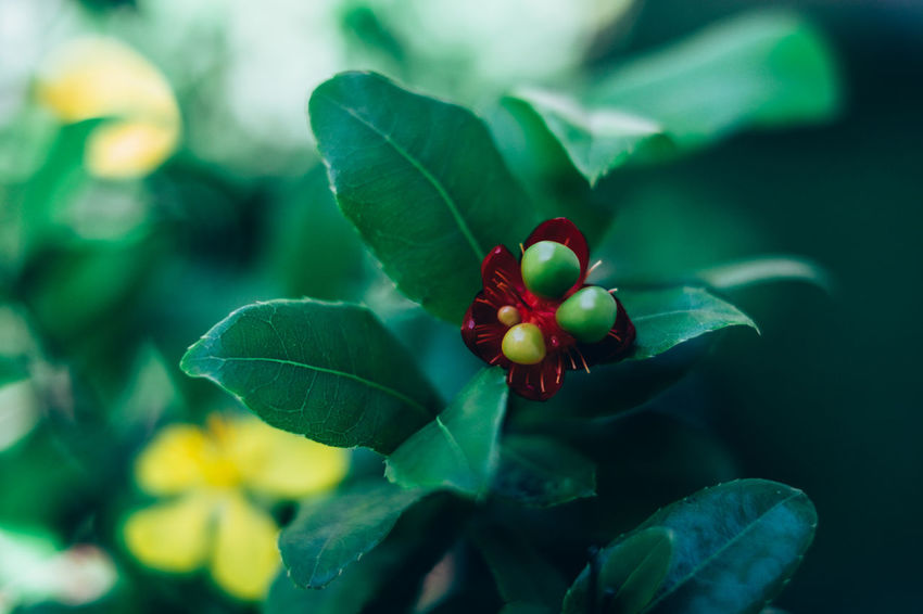 Beauty In Nature Bokeh Copy Space Flower Flower Head Fragility Freshness Fruit Gardening Green Color Growth Leaf Light And Shadow Money Tree Nature Outdoors Plant Red Seed Selective Focus