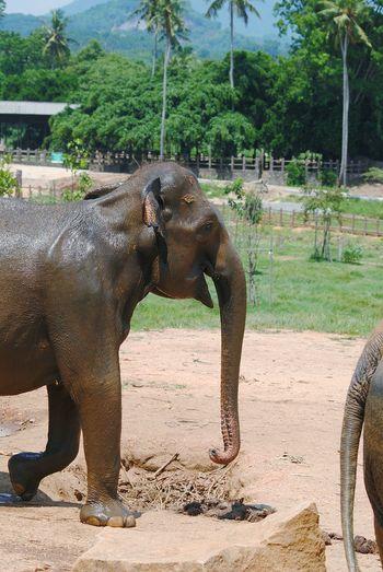 laughing Ellie!! Pinnawala Elephant Orphanage Sri Lanka Animal Trunk Tree Elephant Spraying Indian Elephant Asian Elephant