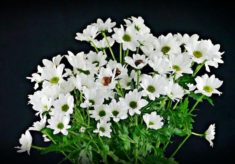 White flowering plant against black background