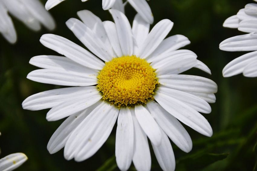 I planted one seed and have a kazillion Shasta daisies taking over my back yard. And I love them! Tadaa Friends Flowers Tadaa Community Nature_collection