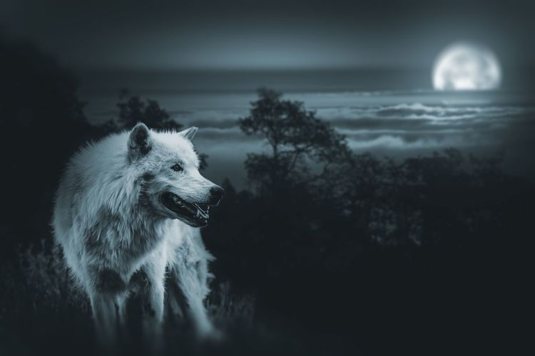 White Alpha Wolf. Full Moon Night. Darkness Alpha Wolf Animal Animal Themes Beauty In Nature Day Dog Domestic Animals Mammal Mystery Nature Night No People One Animal Outdoors Pets Sky Tree Water Wolf
