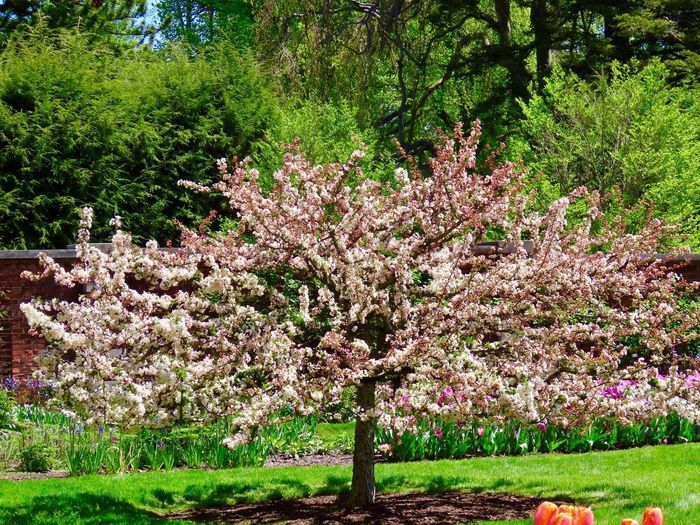 Flowering trees cherry blossoms green grass landscape tranquil scene beauty in nature springtime outdoors Growth Tree Nature Garden No People Tranquility