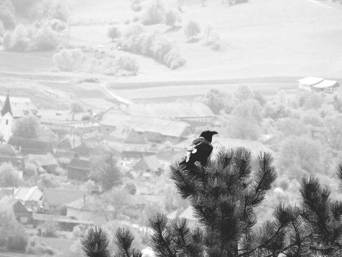 Raven Perching On Tree Against Village