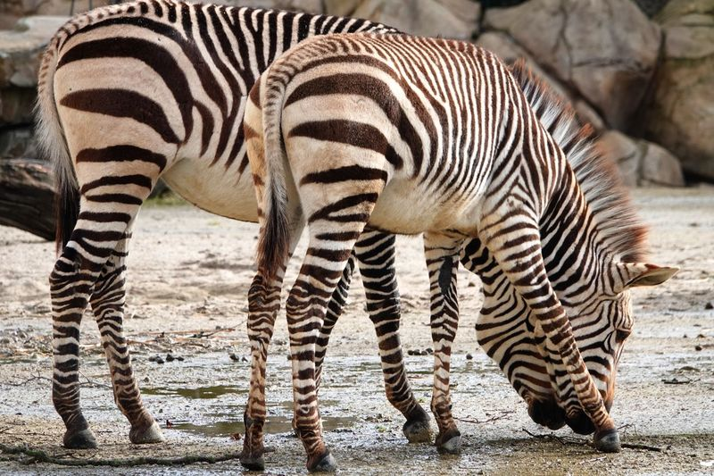 Hartmann's Mountain Zebra Equus Zebra Hartmannae Striped Animal Themes Animal Wildlife Animal Animals In The Wild Mammal Zebra Animal Markings Group Of Animals Sunlight Herbivorous Natural Pattern No People Nature Two Animals Outdoors Day Vertebrate Safari