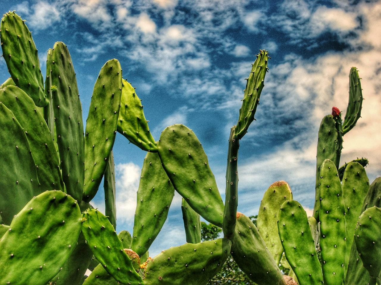 growth, cactus, green color, nature, plant, no people, sky, day, cloud - sky, beauty in nature, outdoors, low angle view, close-up, prickly pear cactus, saguaro cactus, freshness