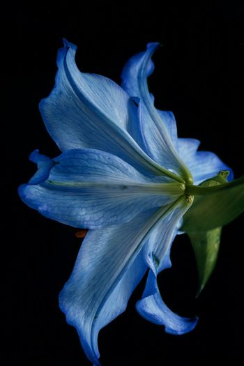 Blue Lilies Lily Beauty In Nature Black Background Blue Blue Flowers Close-up Flower Flower Collection Flower Head Flowers Fragility Freshness Lilies Lily Flower Nature No People Petal Studio Shot EyeEmNewHere The Week On EyeEm