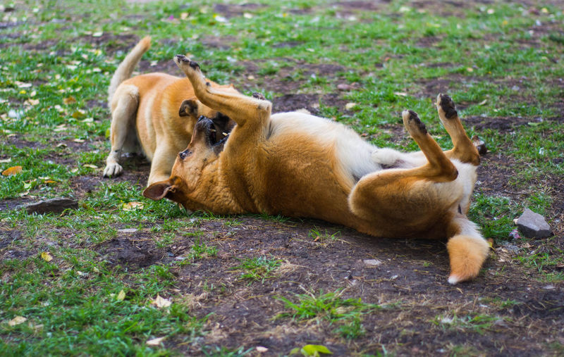 Two dogs playing in the grass. Beautiful Colonia Del Sacramento - Uruguay Dogs Grass Playful Dogs In The Park Stray Dogs Cute Dogs Park Playful Playing Tummy Up Uruguay