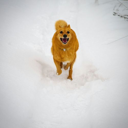 Юпитер37 Winter Finn Spitz Suomenpisticorva Dog One Animal Animal Themes Pets Mouth Open Snow No People Cold Temperature Nature Outdoors