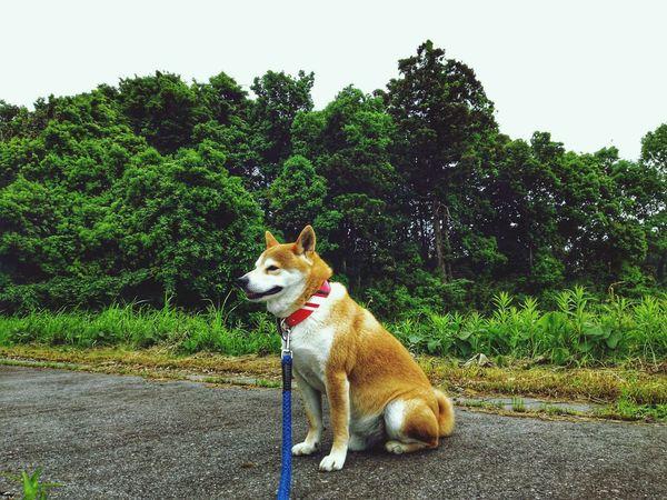 partner🌠sibainu🌟dog EyeEm Selects Tree Pets Dog Protruding Sticking Out Tongue Sky