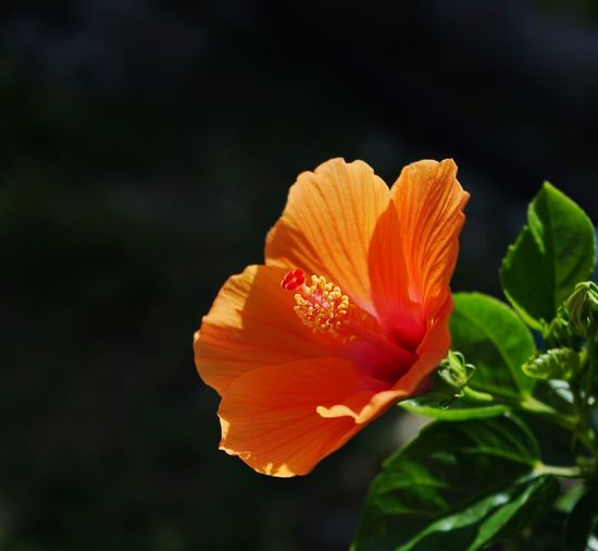 Close-up of orange hibiscus blooming outdoors