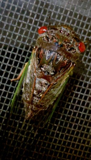 Night of the cicada Lords