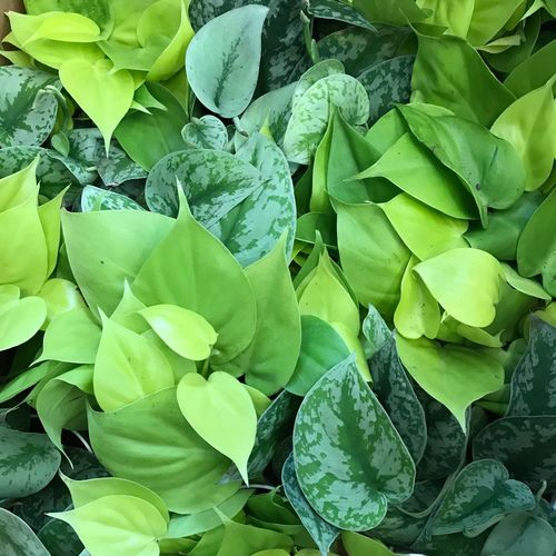 Leaf Green Color Growth Plant No People Full Frame Petal Fragility Nature Freshness Beauty In Nature Backgrounds Day Flower Outdoors Close-up Pothos Philodendron