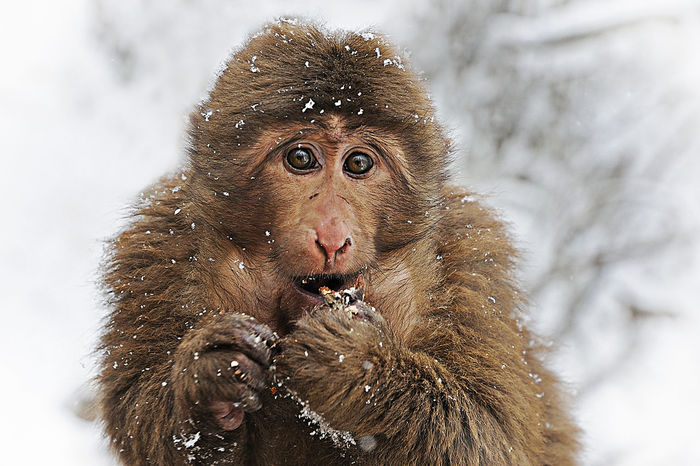Tibetan macaque at the Mount Emei during winter time Chengdu Emei Emeishan Sichuan Tibetan Macaque Tourist Animal Buddhism China Cold Monkey Monyet Mount Emei Place Of Interest Snow Snowing Tibet 乐山 佛教 峨眉山 旅游 灵猴 猴子