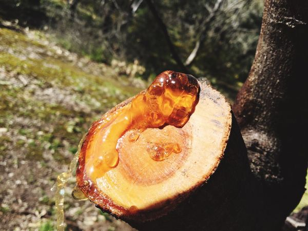Tree Sap Outdoors Orange Color Close-up No People Capture The Moment Taking Pictures Walking Around Sunday Beauty In Nature My Favorite Place