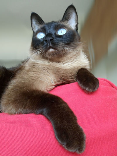 Siamese Cat Siamese Siamesecats Cat Of The Day Cats Cat Lovers Cats Of EyeEm Blue Eyes Check This Out Cat Cat Eyes Catsofeyeem Paws Baileys Sonyphotography Sony Sony Xperia Sony Mobile Cat Photography Photography Sony Xperia M5 Iloveit Popular Photos Hello World Stockphoto