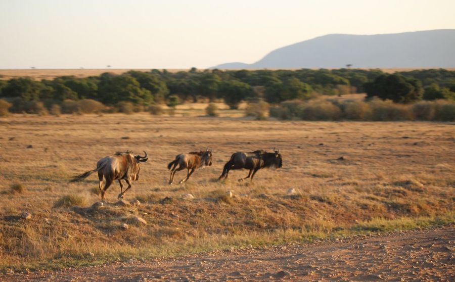 Wildebeest roaming wild EyeEm Selects Animal Group Of Animals Animal Themes Landscape Sky Mammal Land Nature Animal Wildlife Animals In The Wild Field Plant Grass Mountain Clear Sky Environment Vertebrate Day Beauty In Nature No People