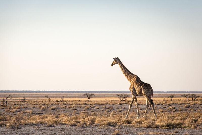Giraffe standing on field against clear sky