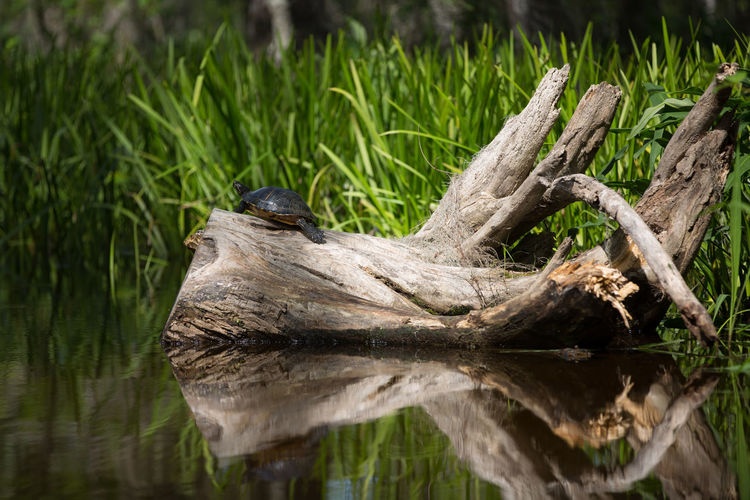Tree Animal Animal Themes Animal Wildlife Animals In The Wild Close-up Day Driftwood Grass Green Color Lake Log Logs Nature No People One Animal Outdoors Plant Reeds Tree Turtle Water Wood Wood - Material