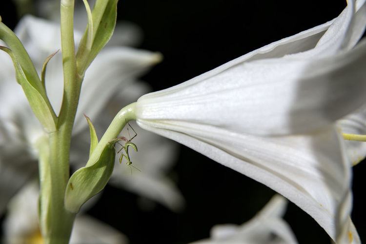 Close-up of white flowering plant against black background