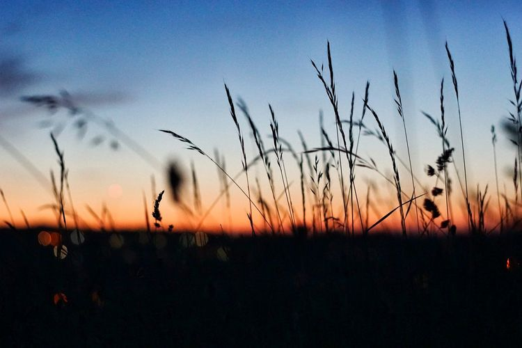 Summer Sunset Silhouette Blue Rural Scene Sky Close-up Plant Reed - Grass Family Wildflower Growing Uncultivated Stem