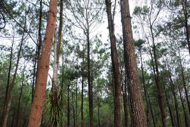 Pine Forrest INDONESIA Yogyakarta, Indonesia Beauty In Nature Coniferous Tree Day Environment Evergreen Tree Forest Growth Land Low Angle View Mangunan Nature No People Non-urban Scene Outdoors Pine Tree Pine Woodland Plant Scenics - Nature Tranquility Tree Tree Trunk Trunk WoodLand