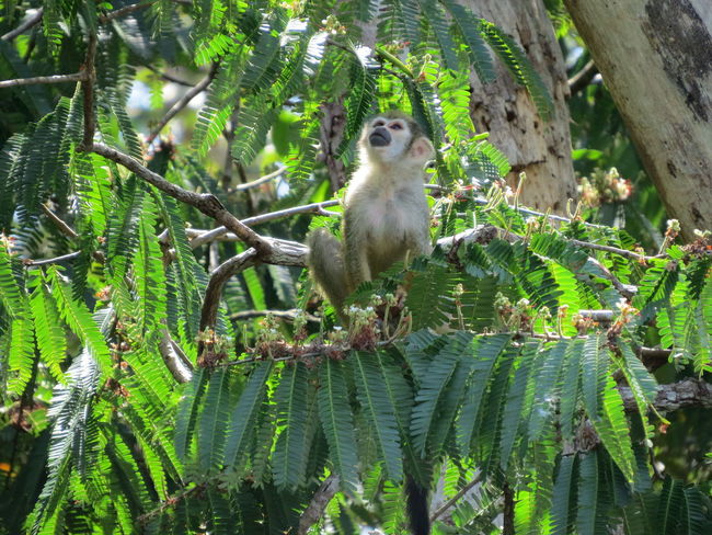 Amazon Amazon Life Amazon Monkey Amazonas Animal Themes Animals In The Wild Beauty In Nature Monkey Nature Nature At Its Best Nature Up Close One Animal Primate Travel The World