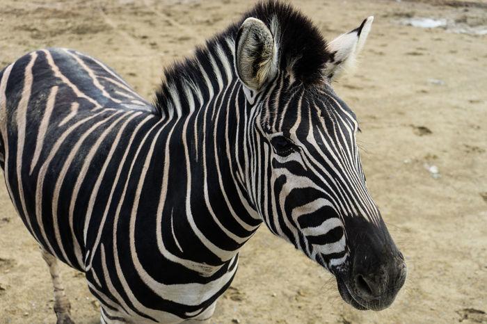 Iwate Safaripark 岩手サファリパーク Animal Holiday Horse Iwate Prefecture Japan Kid Safari Park Savannnah Standing Zebra