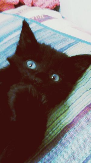 Baby Blue Eyed Kitten Playful Sweet Animal