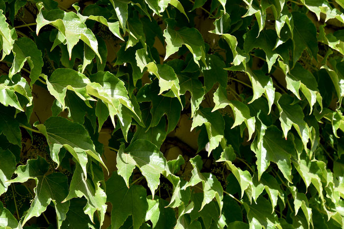 Virginia creeper on wall Parthenocissus Greenery Leaf Backgrounds Close-up Plant Green Color Vegetable Garden Gardening Planting